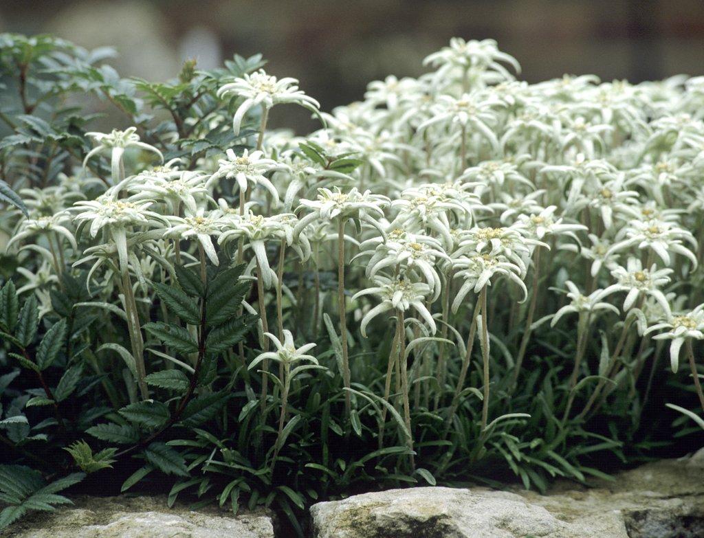 Edelweiss planter et cultiver ooreka for Plante 4 images 1 mot