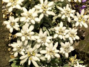 Multiplication de l'edelweiss