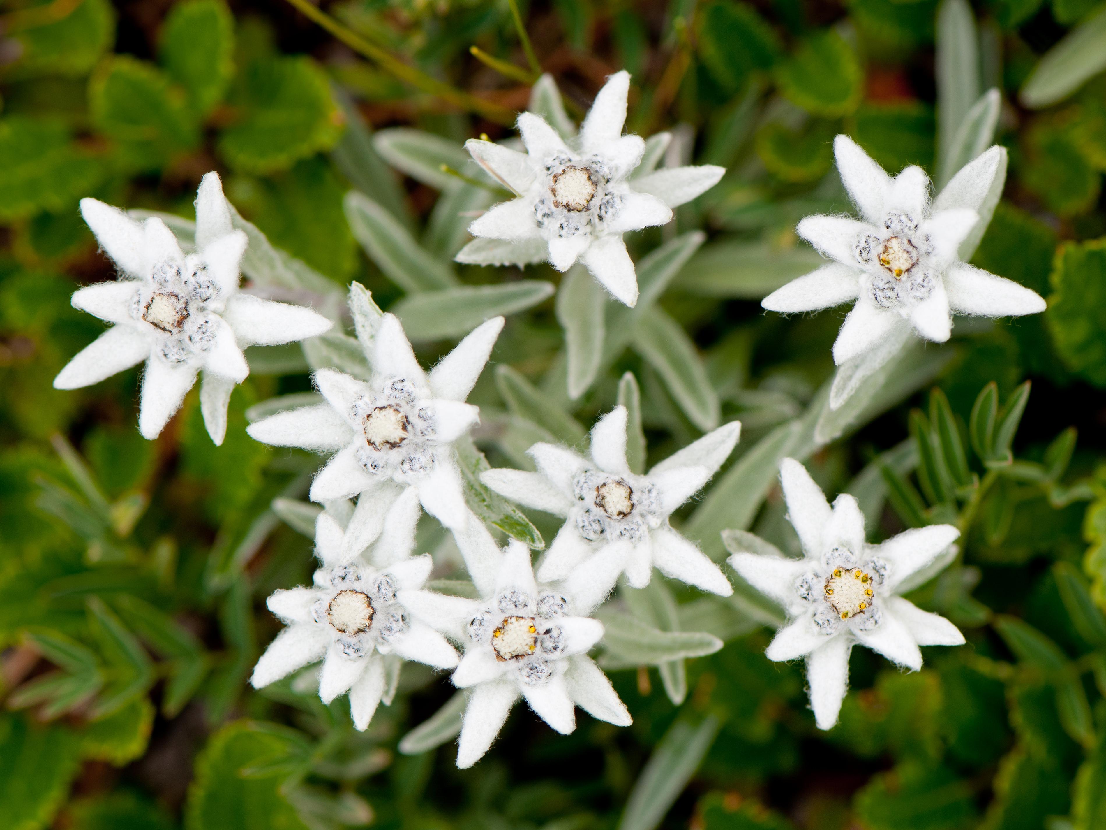Edelweiss  planter et cultiver \u2013 Ooreka