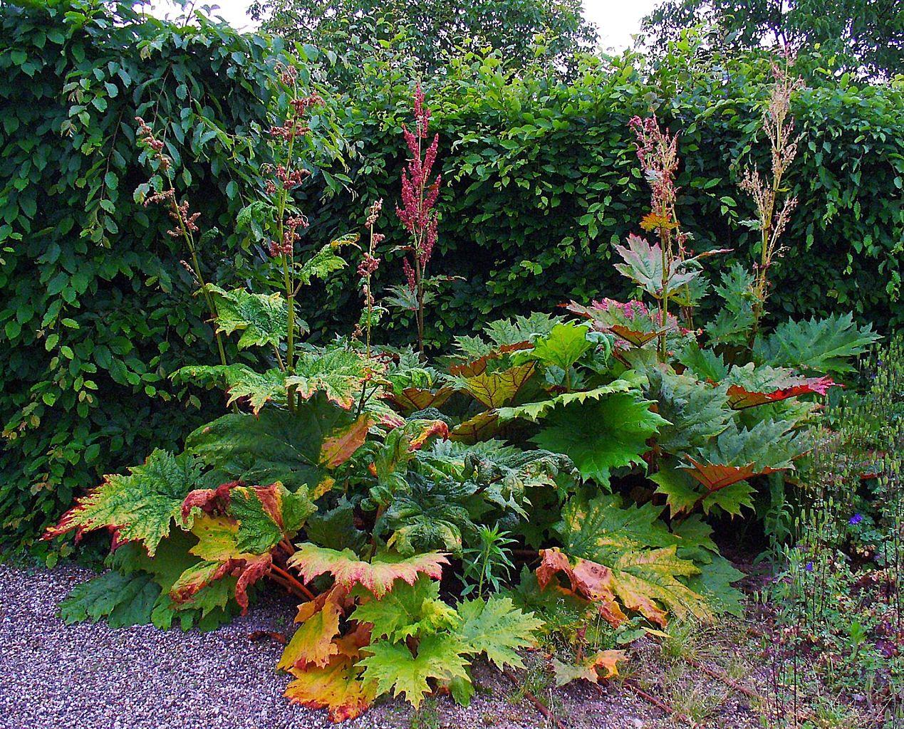 Jaune Décoration Rhubarbe-Rheum palmatum