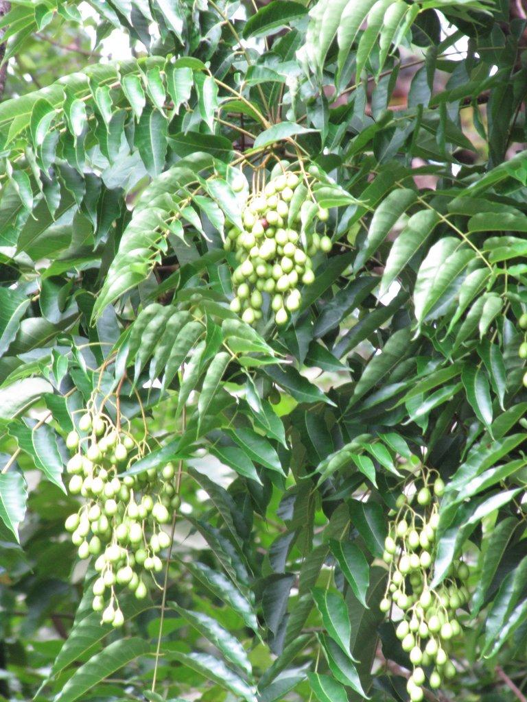 Toona sinensis planter et tailler ooreka for Plante 4 images 1 mot