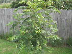 Semis et plantation de <em>Toona sinensis</em>