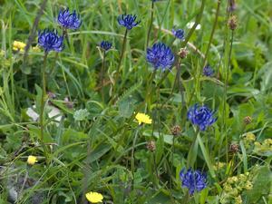 Semis et plantation de <em>Phyteuma spicatum</em>