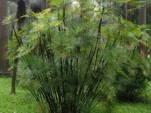 Plantation du rhapis