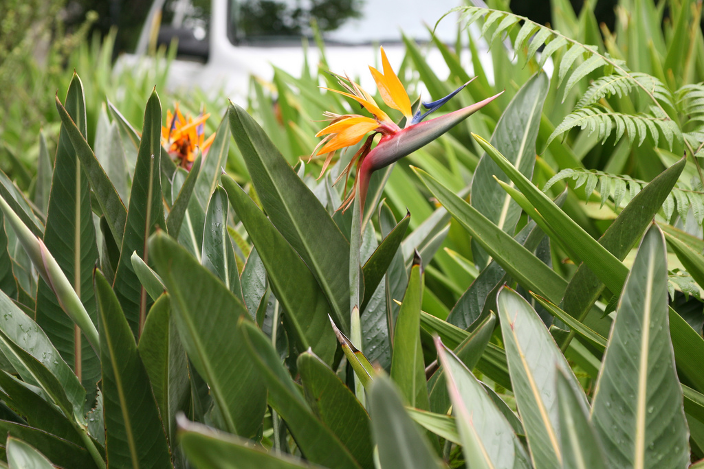 planter un strelitzia en pleine terre