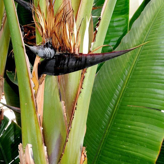 Strelitzia nicolai Espèce type