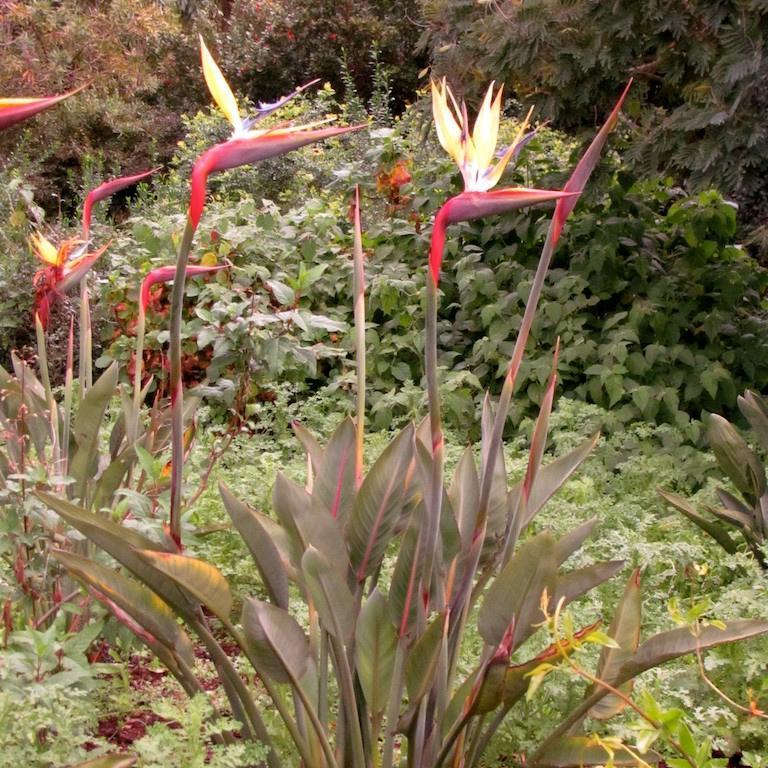 Oiseau de paradis (Strelitzia reginae) 'Mandella's gold'