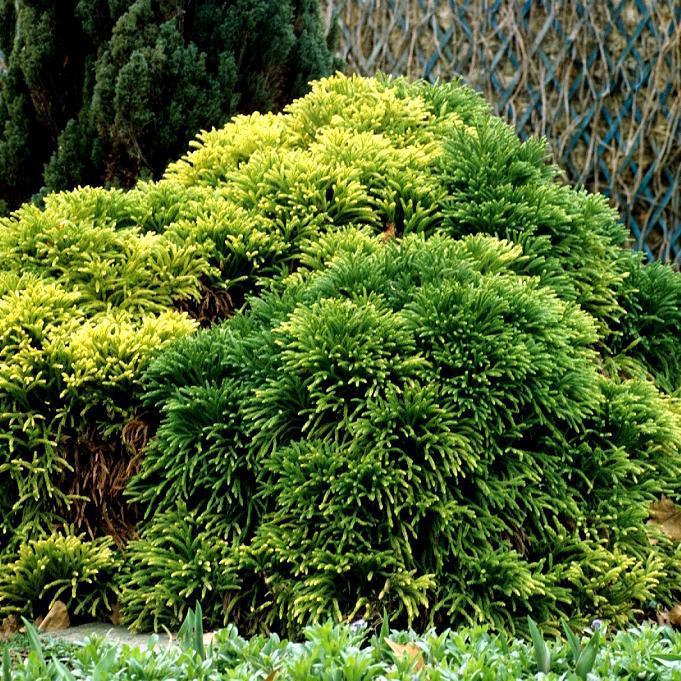 Cryptomeria japonica Espèce type