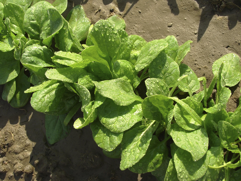 Pinard semer et planter ooreka for Planter un amaryllis en pleine terre