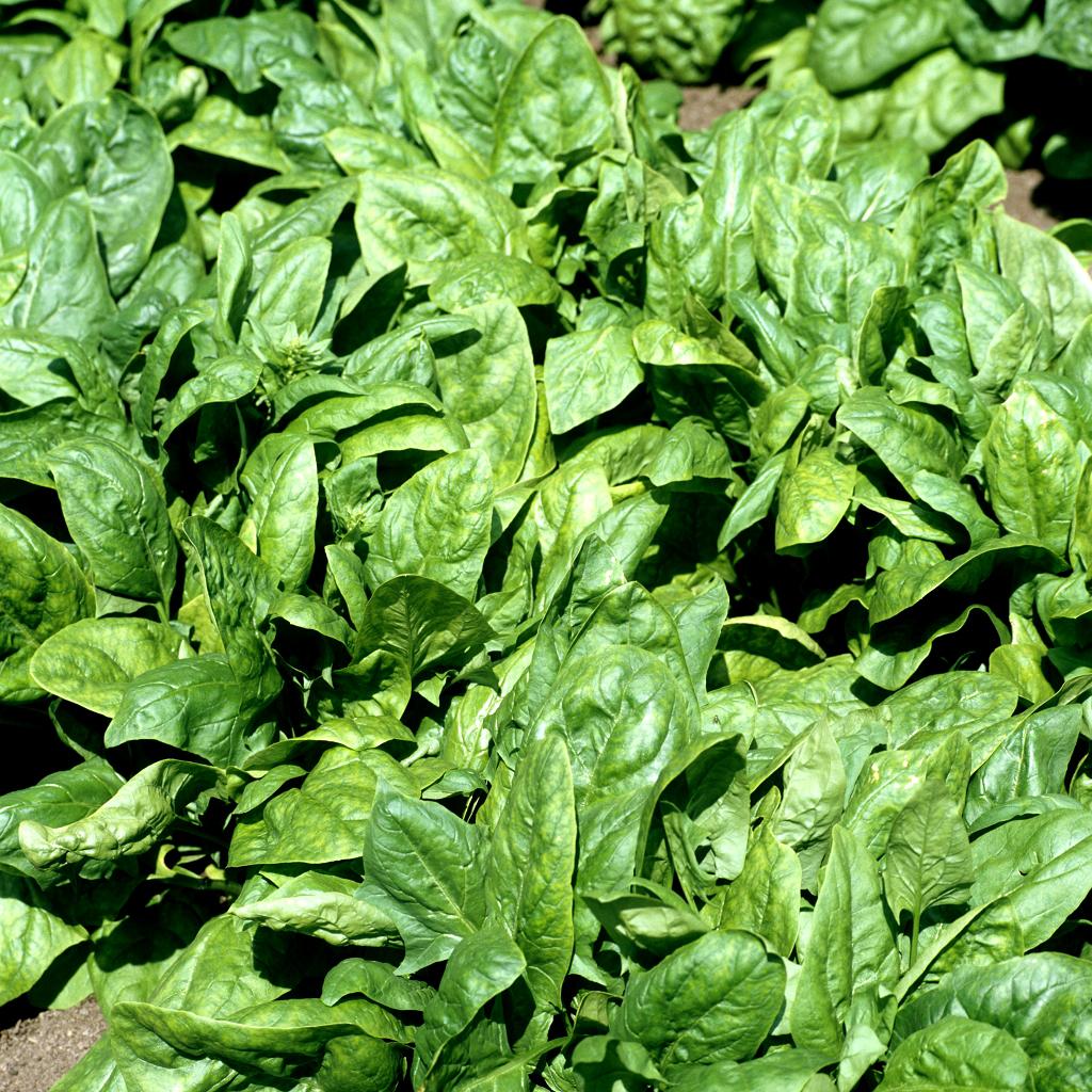 Pinard semer et planter ooreka - Quoi semer en aout ...