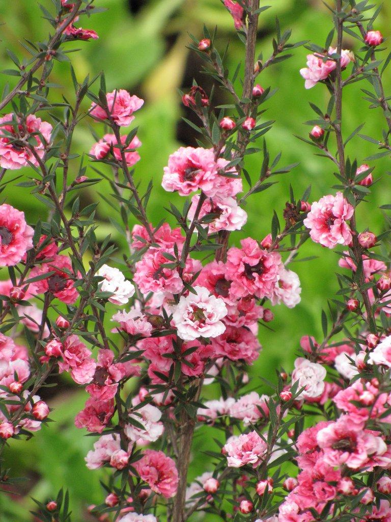 Arbre th planter et entretenir ooreka for Arbres a feuilles persistantes