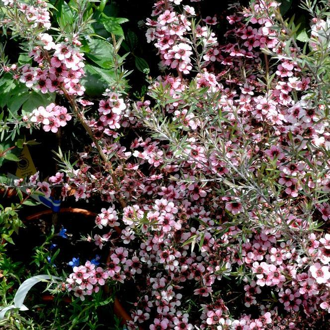 Arbre à thé (Leptospermum scoparium) 'Martini'