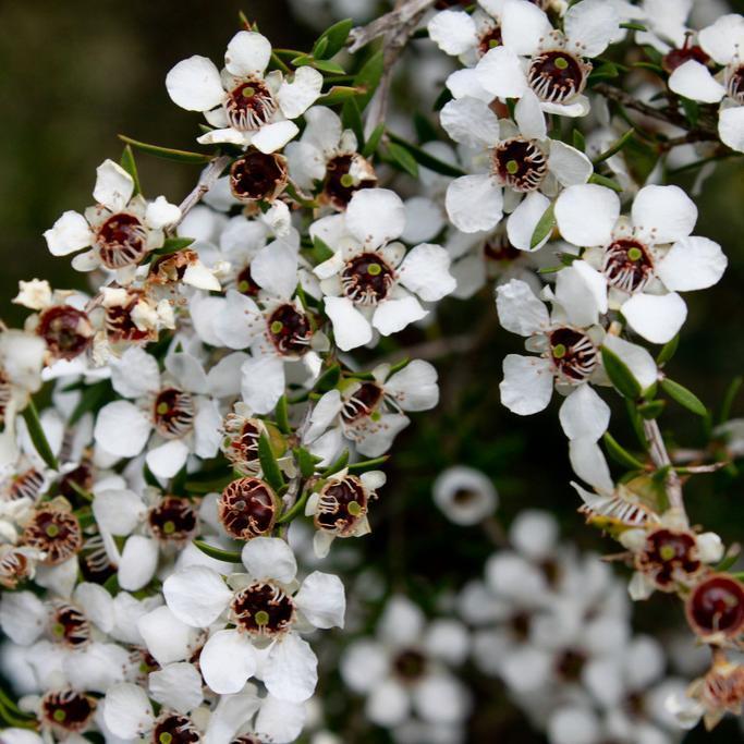 Arbre à thé (Leptospermum scoparium) 'Silver Sheen'