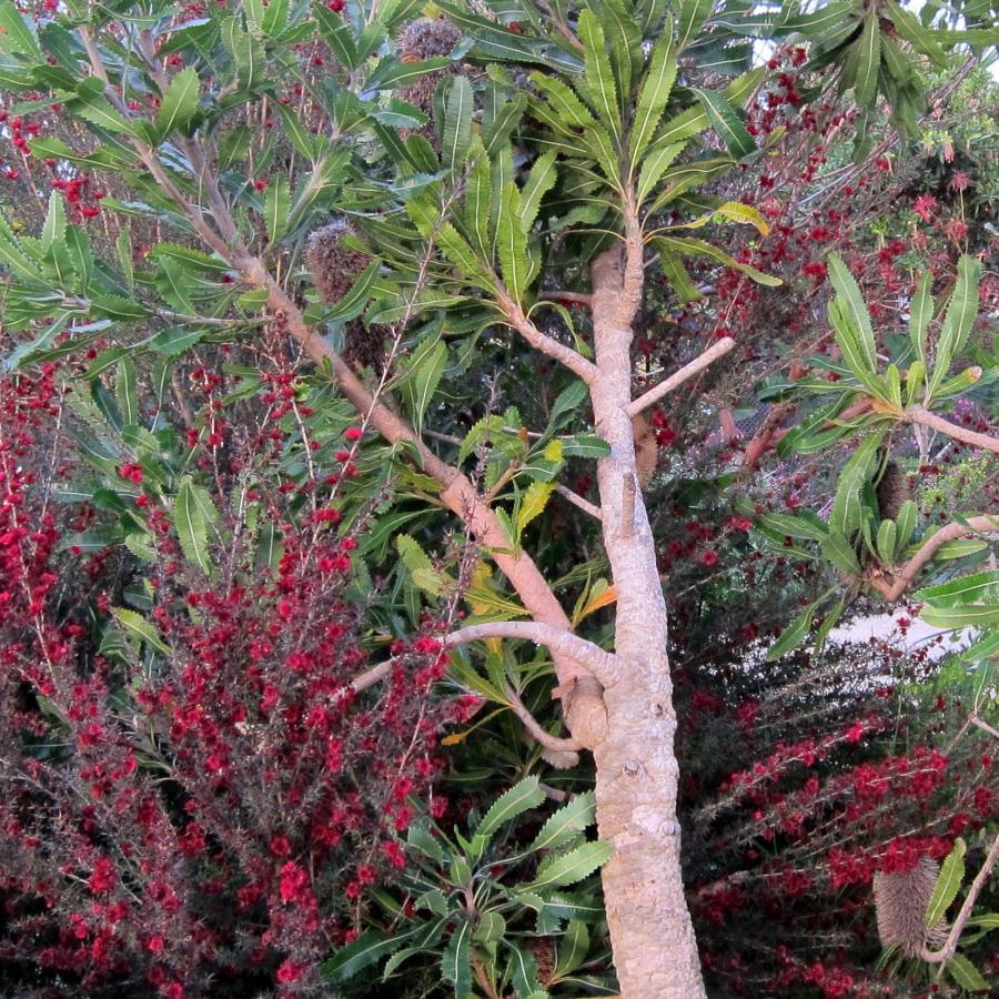 Arbre à thé (Leptospermum scoparium) 'Ruby glow'