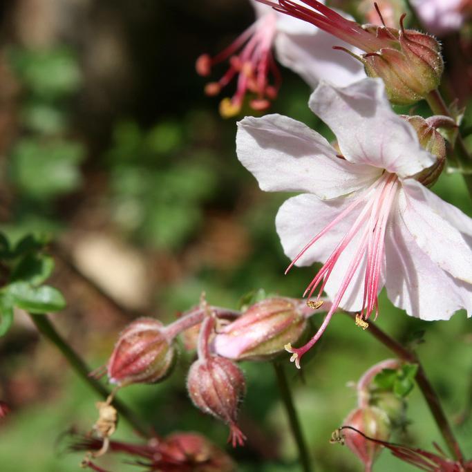 Arbre à thé (Leptospermum scoparium) 'Pink Cascade'