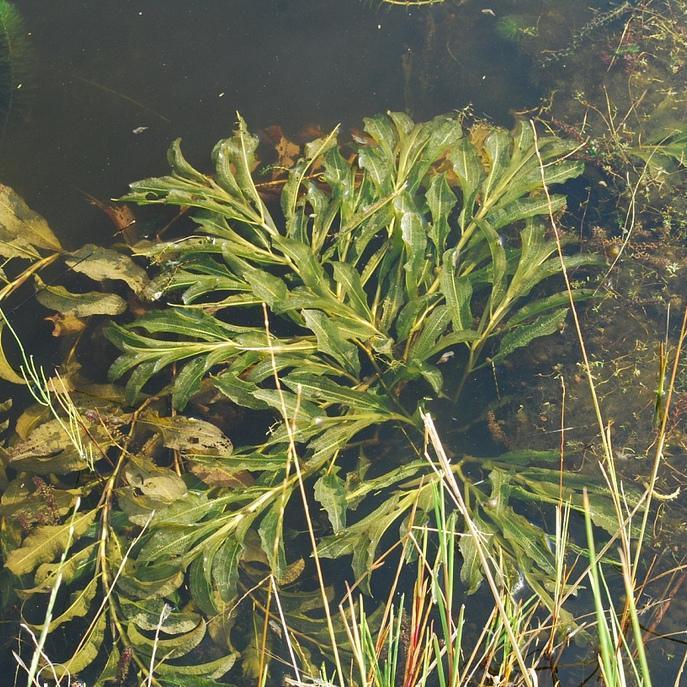Potamot luisant (Potamogeton lucens)