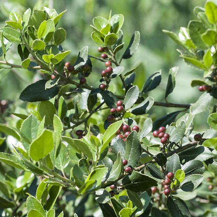 Filaire à feuilles larges, alavert, aouret (Phillyrea latifolia, syn. Phillyrea media, Phillyrea ilicifolia) Phillyrea latifolia var. media (syn. Phillyrea media)
