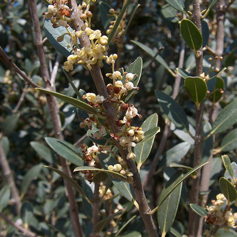 Filaire à feuilles larges, alavert, aouret (Phillyrea latifolia, syn. Phillyrea media, Phillyrea ilicifolia) Espèce type
