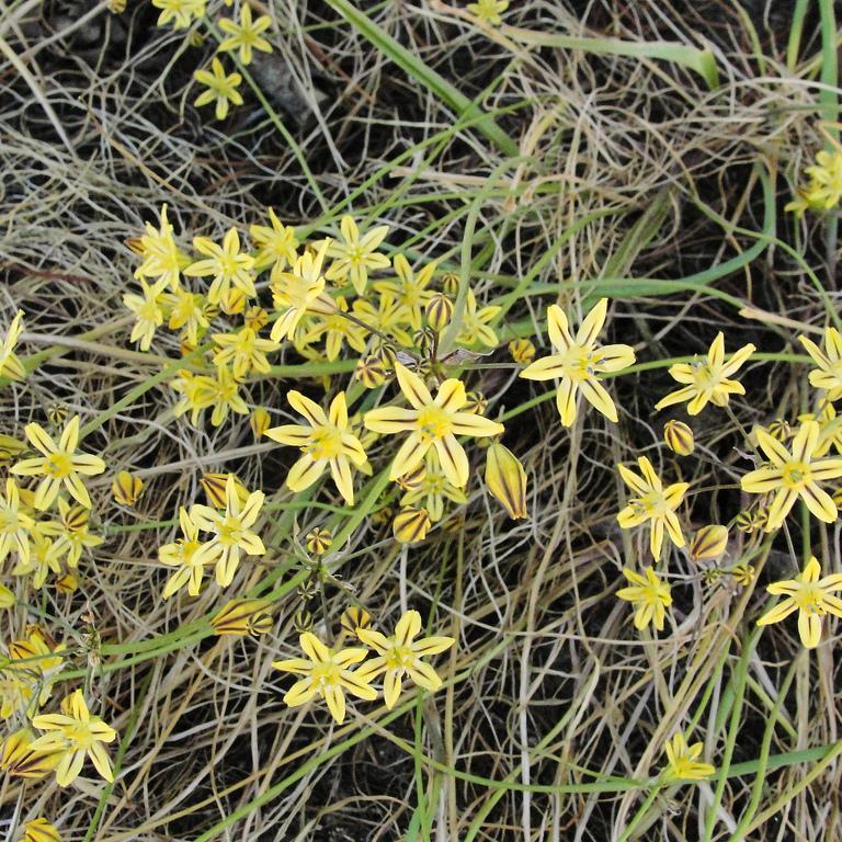 Triteleia ixioides (syn. Brodiaea ixioides) Espèce type
