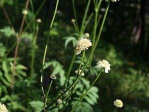 Plantation de <em>Cephalaria</em>