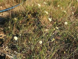 Culture et entretien de<em> Cephalaria</em>