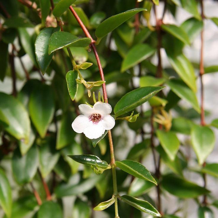 Codonanthe gracilis Espèce type