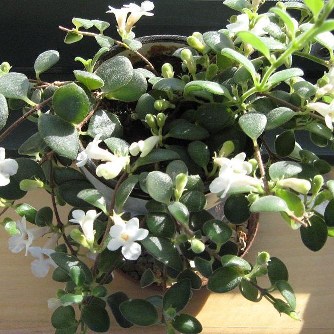 Codonanthe carnosa, syn. Codonanthe florida, Codonanthe hookeri, Columnea scandens-hirsuta, Hypocyrta carnosa Espèce type