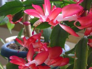 Plantation du cactus de Pâques
