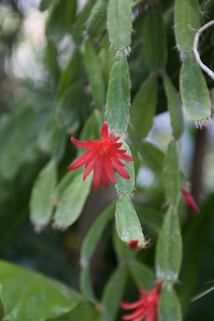 cactus de p u00e2ques   planter et entretenir  u2013 ooreka