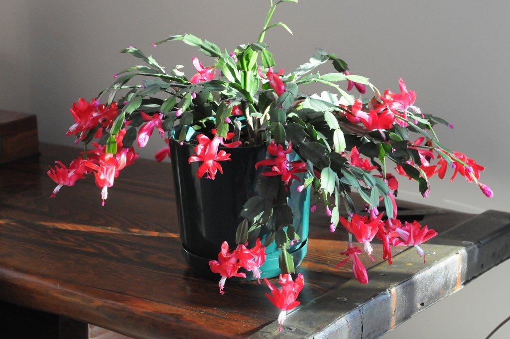 Les cactus de Pâques