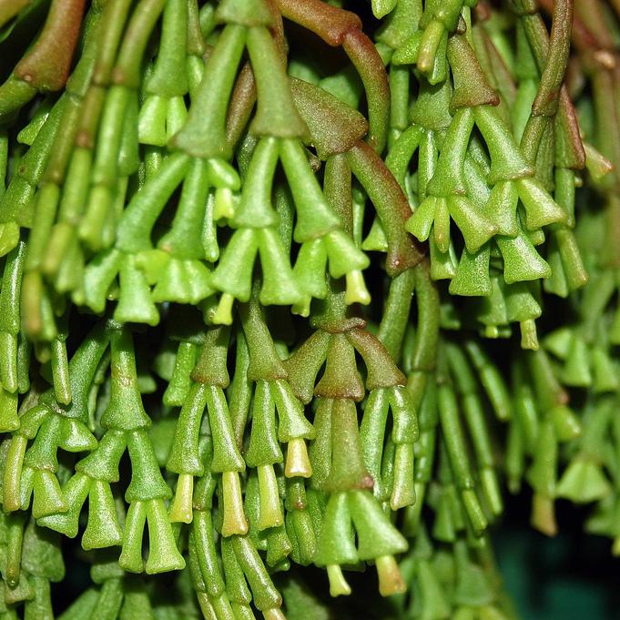Hatiora epiphylloides Espèce type