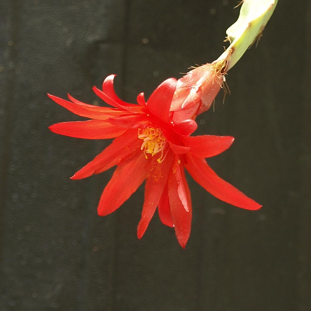 Cactus de Pâques, cactus de Pentecôte (Hatiora gaertneri, syn. Rhipsalidopsis g., Schlumbergera g., Epiphyllum russellianum, Rhipsalis g., Epiphyllopsis g.) var. giant