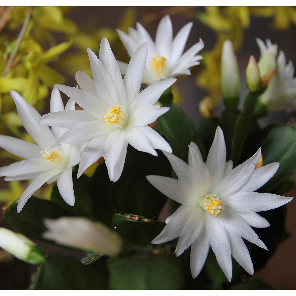 Hybrides de cactus de Pâques, easter cactus (en anglais) Hatiora x 'Sirius'