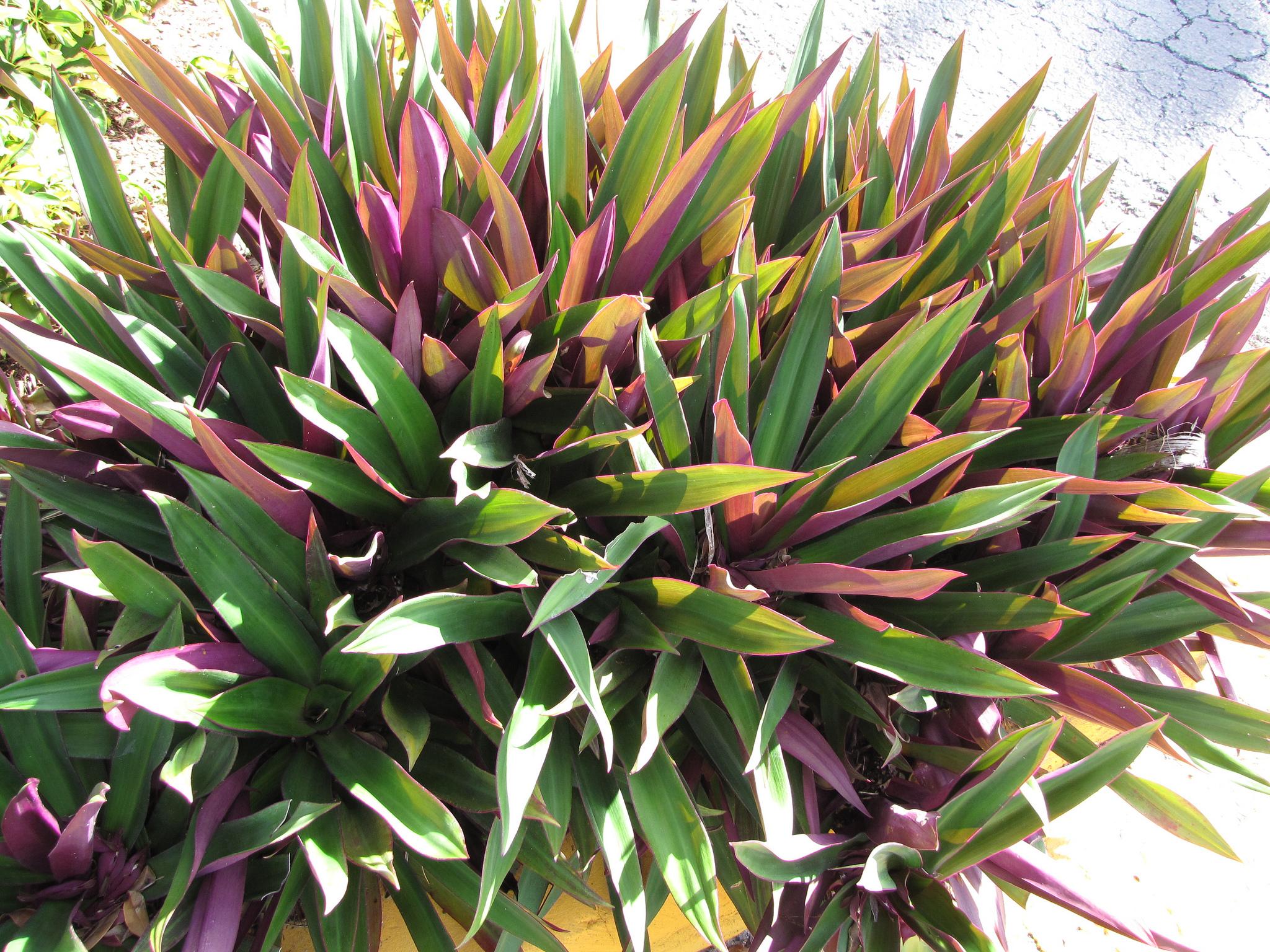 Tradescantia spathacea : planter et entretenir - Ooreka