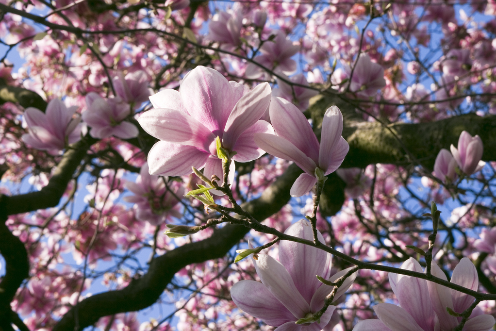 Magnolia Heaven Scent