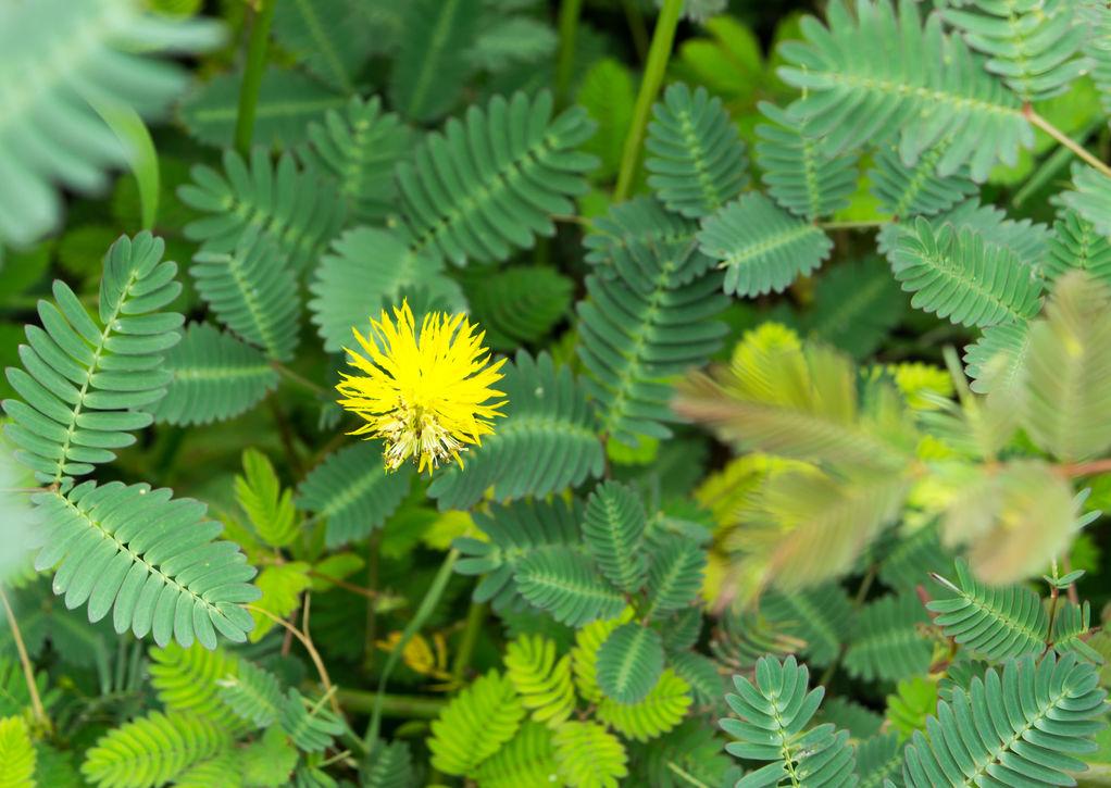 Les plantes sensitives