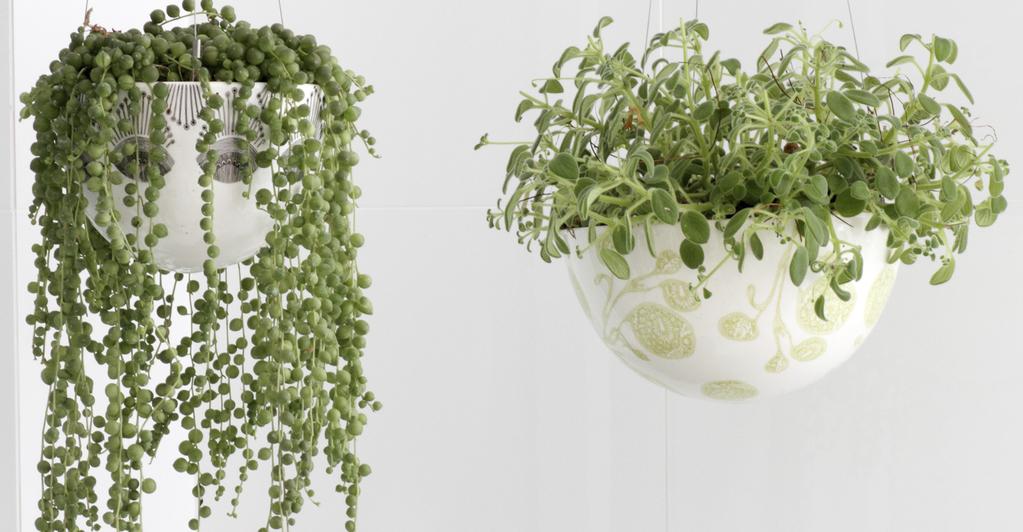 plante suspendue interieur cool ambiances de plantes. Black Bedroom Furniture Sets. Home Design Ideas