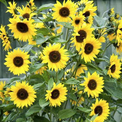 Russir le semis de tournesol - Rustica