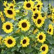 Cultiver un jardin d'agrément en terre argileuse