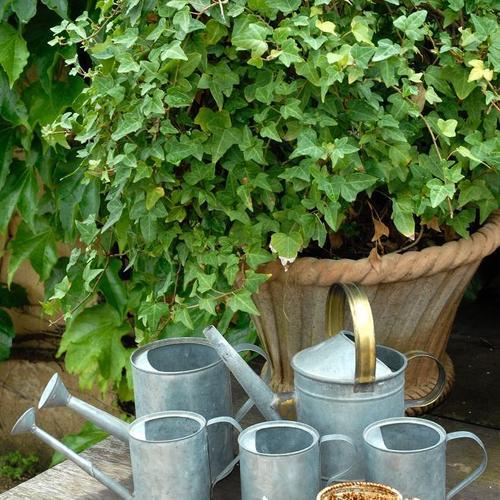 Plante lierre interieur plante verte suspendue | Maison retraite ...