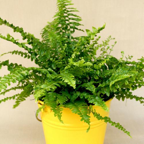 Cultiver des plantes d polluantes jardinage for Fougere d interieur plante