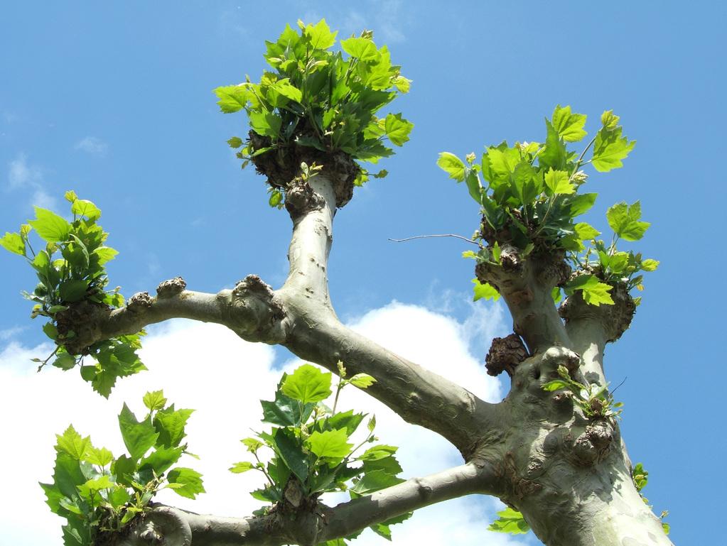 arbre têtard : définition et caractéristiques de l'arbre trogne