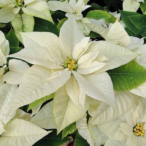 Fleur De Noel Liste Ooreka