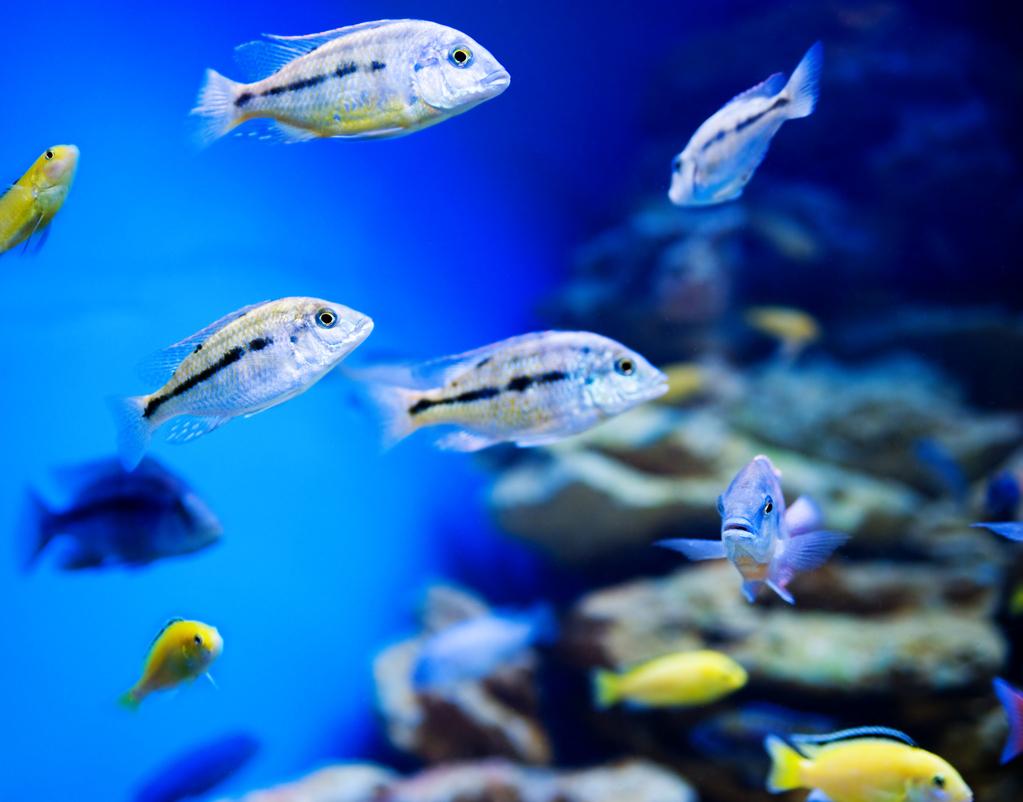 Poux de poisson caract ristiques sympt mes traitement for Acheter des poissons