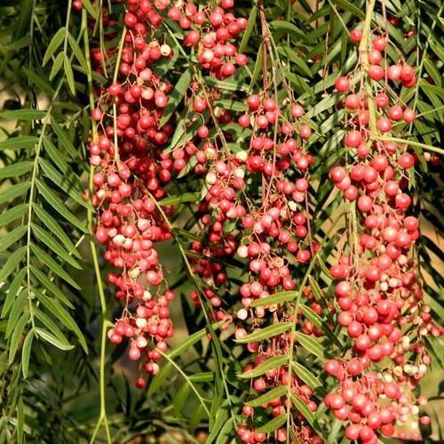 L'incroyable pouvoir du Curcuma associé a des épices : le cocktail d'or Poivre-pousse-baie