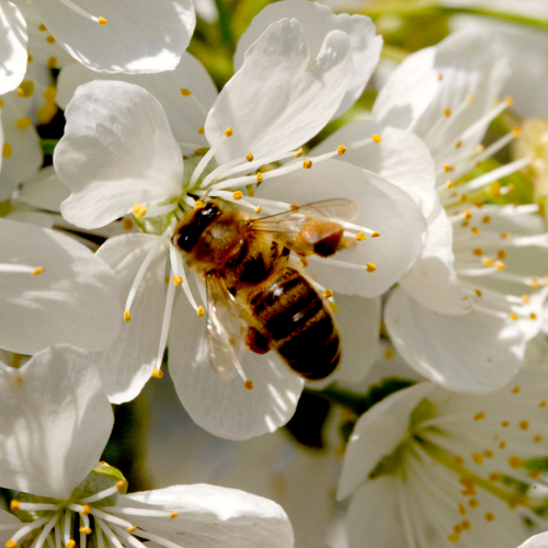 polliniser des arbres fruitiers verger. Black Bedroom Furniture Sets. Home Design Ideas