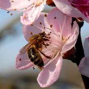 Polliniser des  arbres fruitiers
