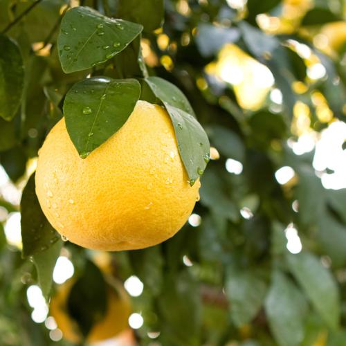 Liste de fruits jaunes ooreka - Liste fruits exotiques avec photos ...