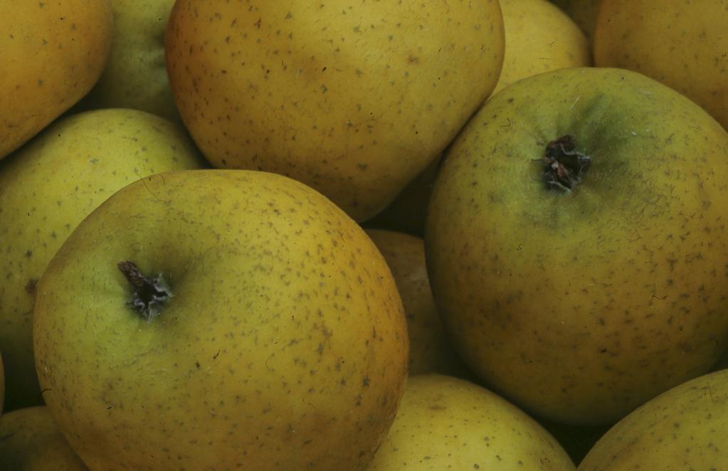 Pomme Reinette