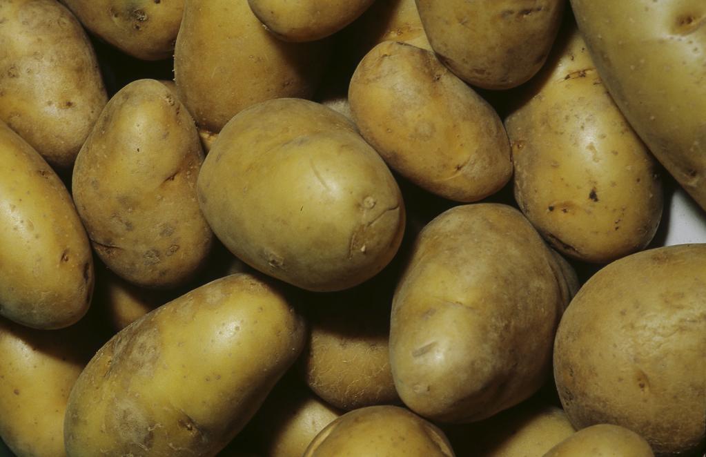 Pomme de terre charlotte culture et r colte ooreka - Recolte des pommes de terre ...